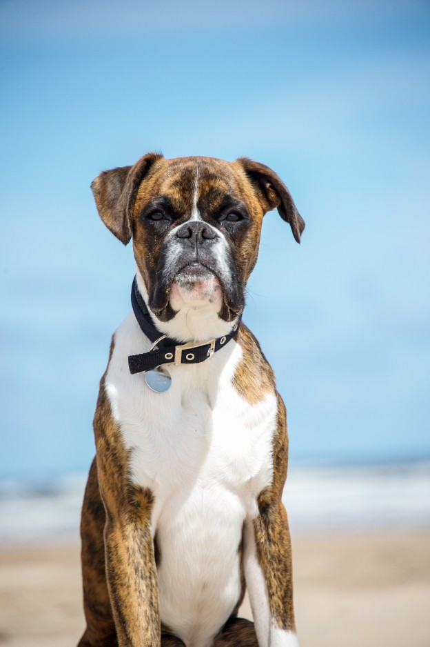 boxer dog on the bearch